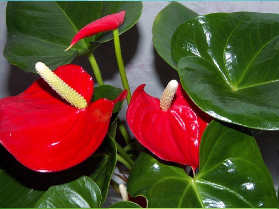 红掌(火鹤花)叶斑病的防治方法图片