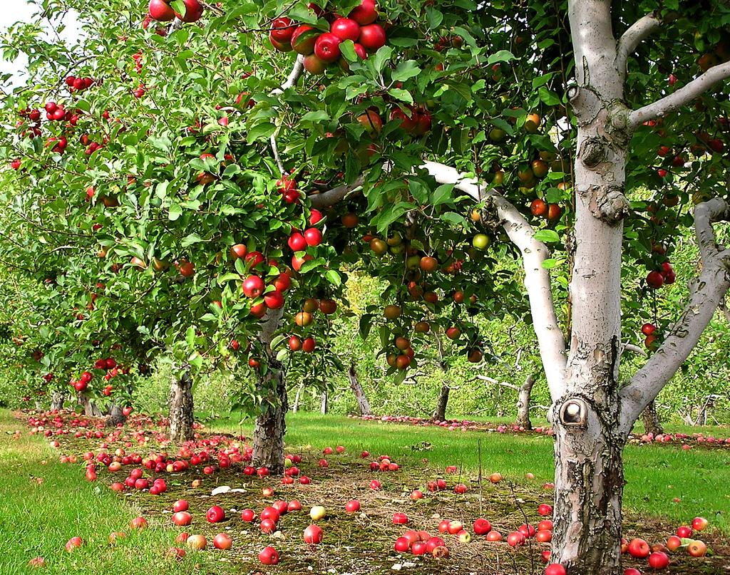 How to plant an apple tree in spring, summer or autumn Proper grafting of apple trees 53