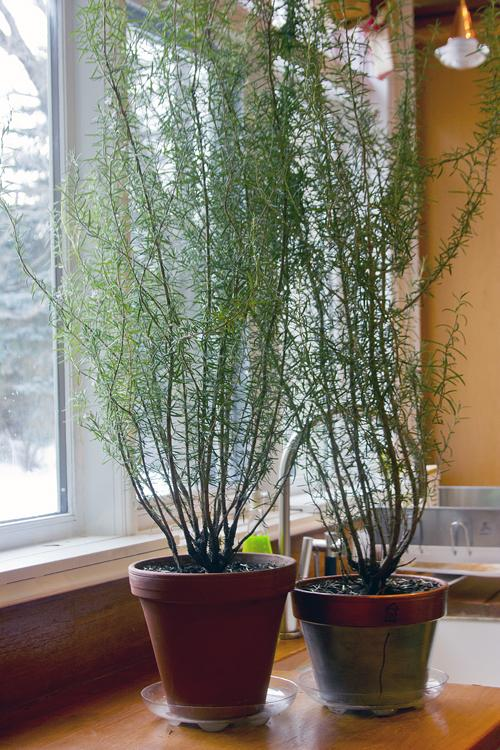 How To Grow Rosemary Indoors Dummer Garden Manage