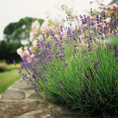 Trimming Lavender How To Prune Lavender Properly Dummer