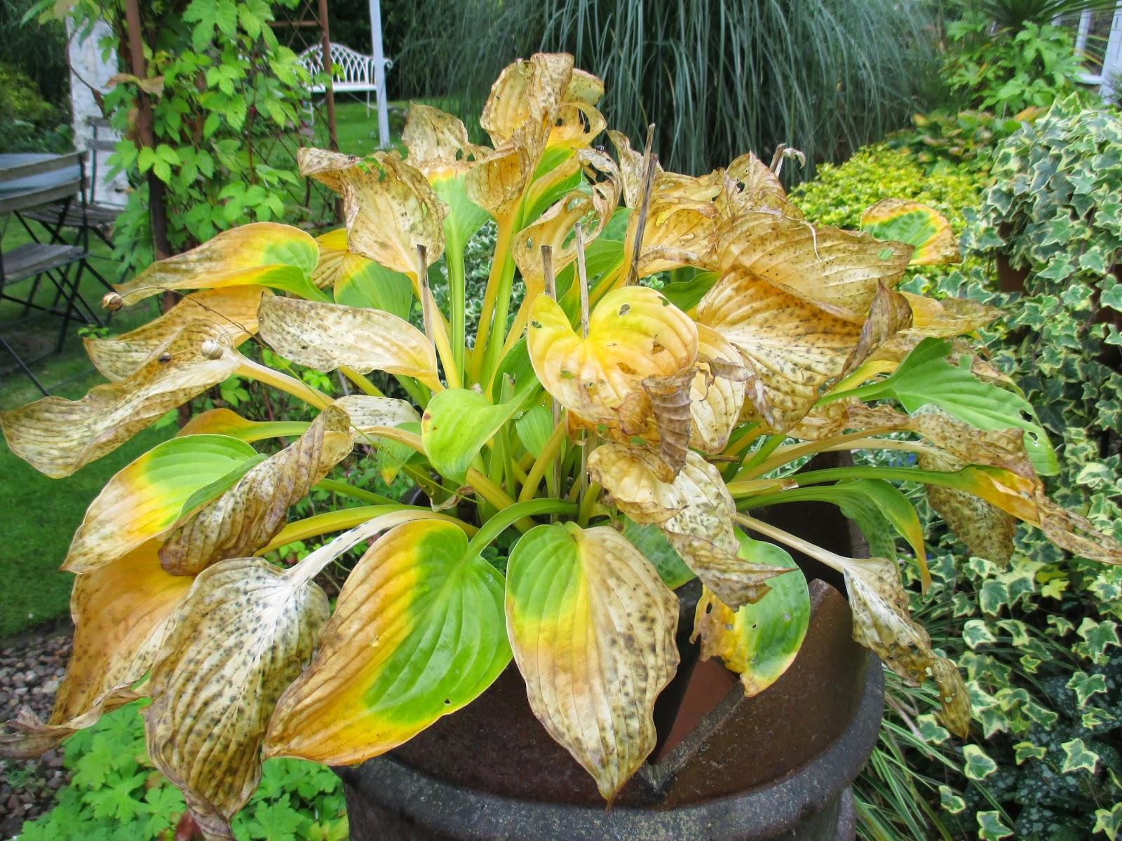 Yellow Hosta Leaves – Why Are Hosta Plant Leaves Turning