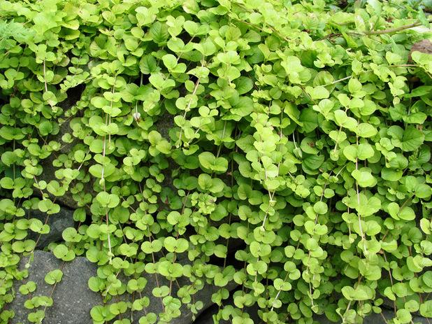 Growing Creeping Jenny, Is Creeping Jenny A Good Ground Cover