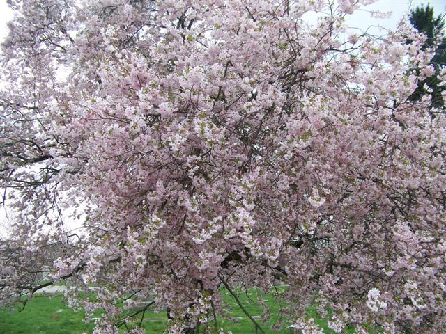 Flowering Cherry Tree Care How To Grow Ornamental Cherry Trees