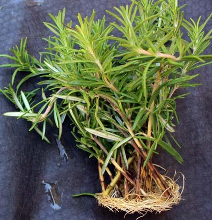 Watering Rosemary For Rosemary Plant Care Dummer Garden