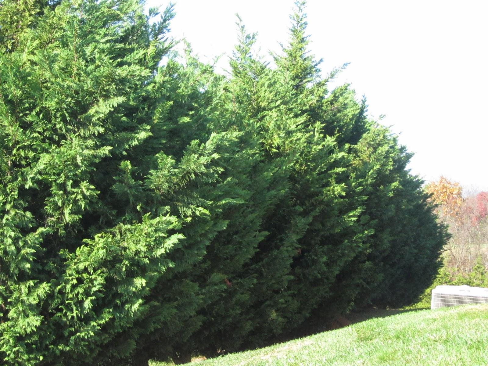 Leyland Cypress Pruning Is Often Used As A Quick Screen Because It Can Grow Up To 4 Feet Per Year Makes An Excellent Windbreak Or