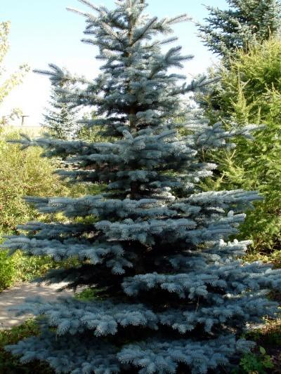 Blue spruce trees blue spruce planting guide tips on caring for.