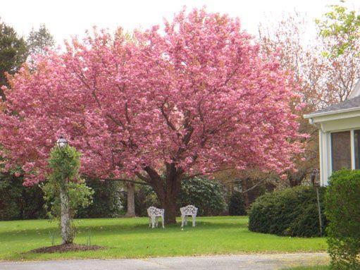 Kwanzan Cherry Tree Info Caring For Kwanzan Cherry Trees Dummer Garden Manage Gfinger Es La App De Jardineria Mas Profesional