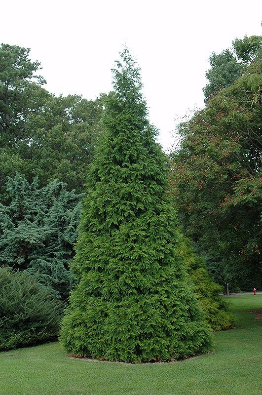 It Isn T Difficult To Begin Fertilizing Arborvitae Read On Learn How Fertilize An And The Type Of Fertilizer For