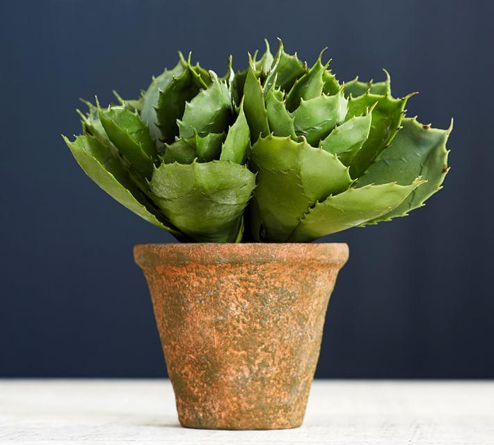 Potted Agave Care Tips On Growing Agave Plants In Pots Dummer
