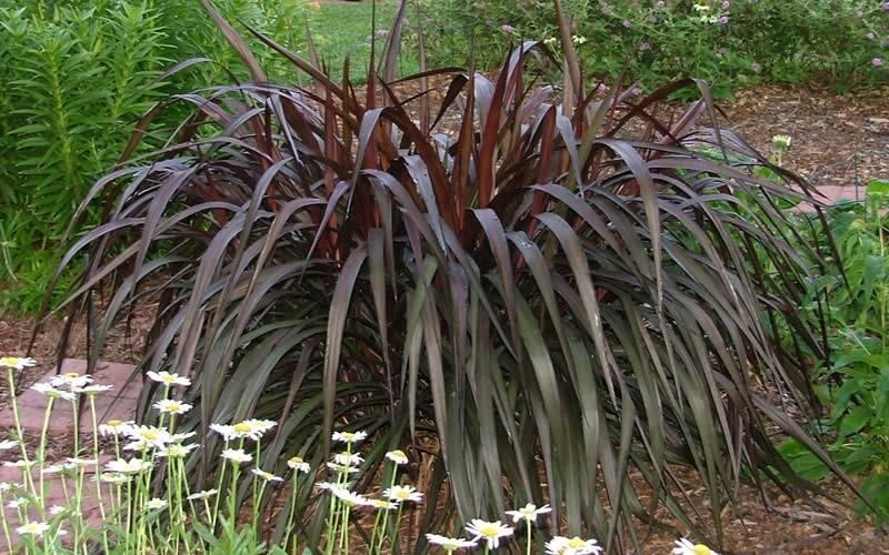 Growing Purple Fountain Grass How To Take Care Of Purple