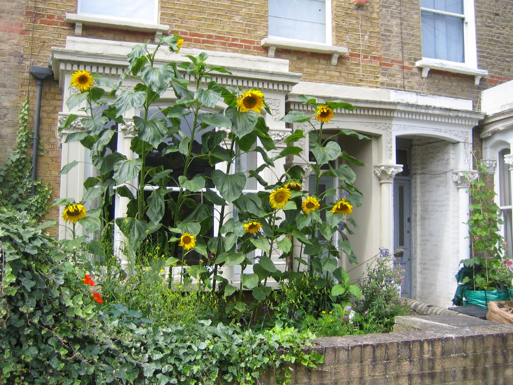 How To Grow And Care For Sunflowers In Containers Dummer