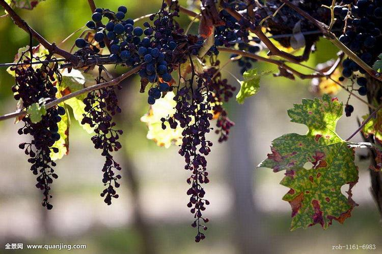 When Is A Good Time To Prune Grape Vines Miss Chen Garden