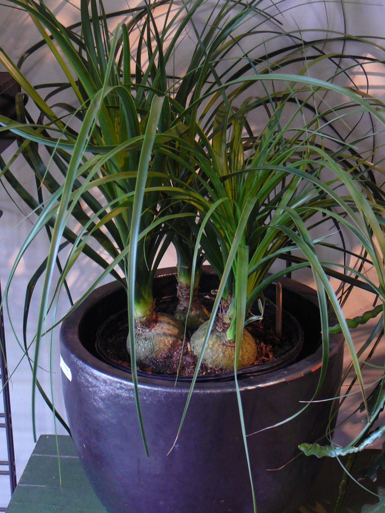 Caring For Ponytail Palm Outdoors Requires A Knowledge Of Plant Care These Lovely Little Trees Thrive In Full Sun With Generous But