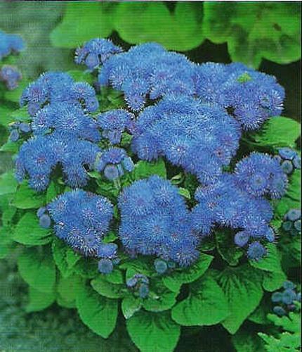 Ageratum Houstonianum 30 Semillas de Agerato Azul