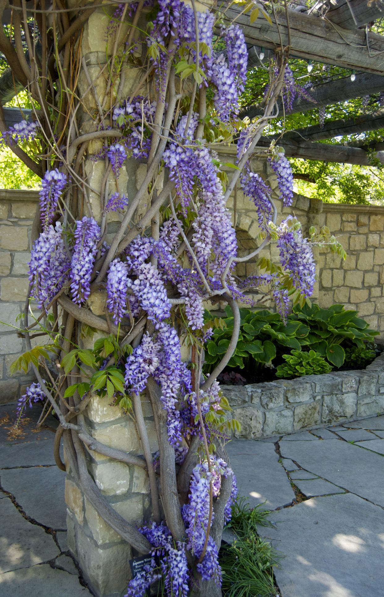 How To Grow And Care For Wisteria Dummer Garden Manage