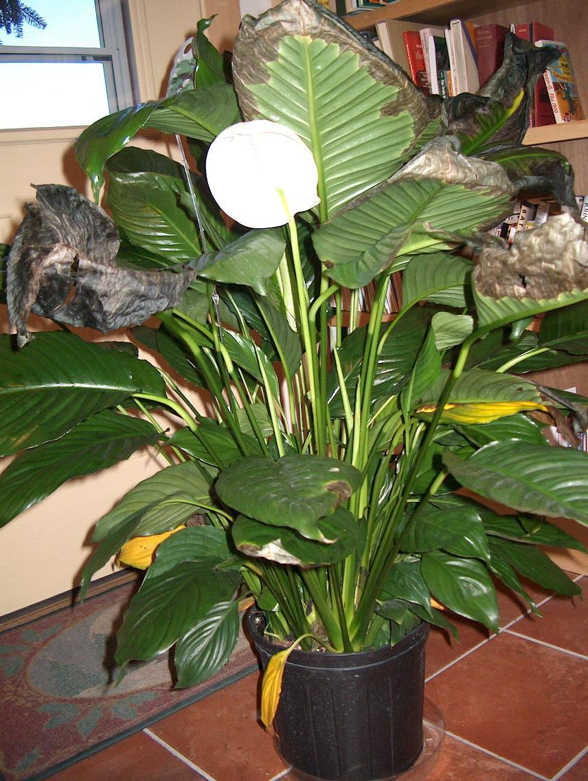 Peace Lily Not Blooming Reasons A Peace Lily Never Flowers Dummer
