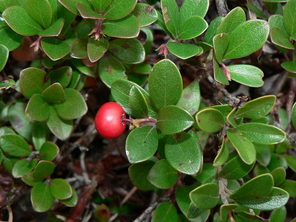 Arctostaphylos uva-ursi - Miss Chen - Garden Manage - GFinger is ...