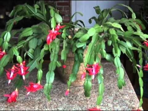 is christmas cactus toxic read on to find out and help protect your pets from any christmas cactus toxicity