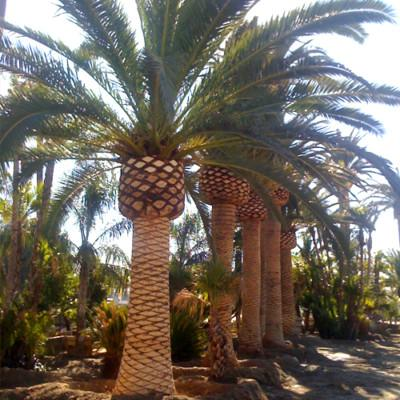 Canary island date palm water requirements