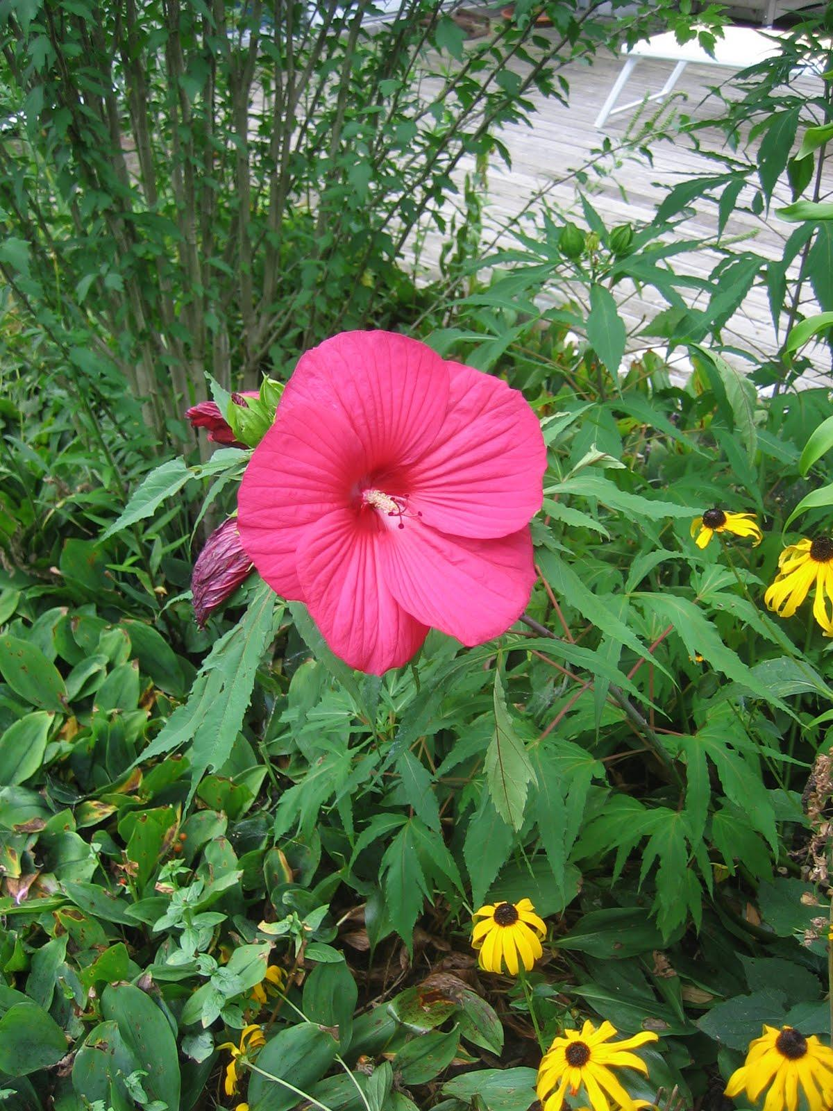 Swamp hibiscus plant info how to grow rose mallow hibiscus dummer crowding the plant inhibits air circulation which may result in leaf spots rust or other diseases swamp hibiscus care izmirmasajfo