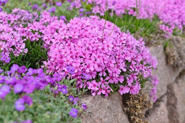 Creeping Phlox Planting Instructions Tips For Growing Creeping
