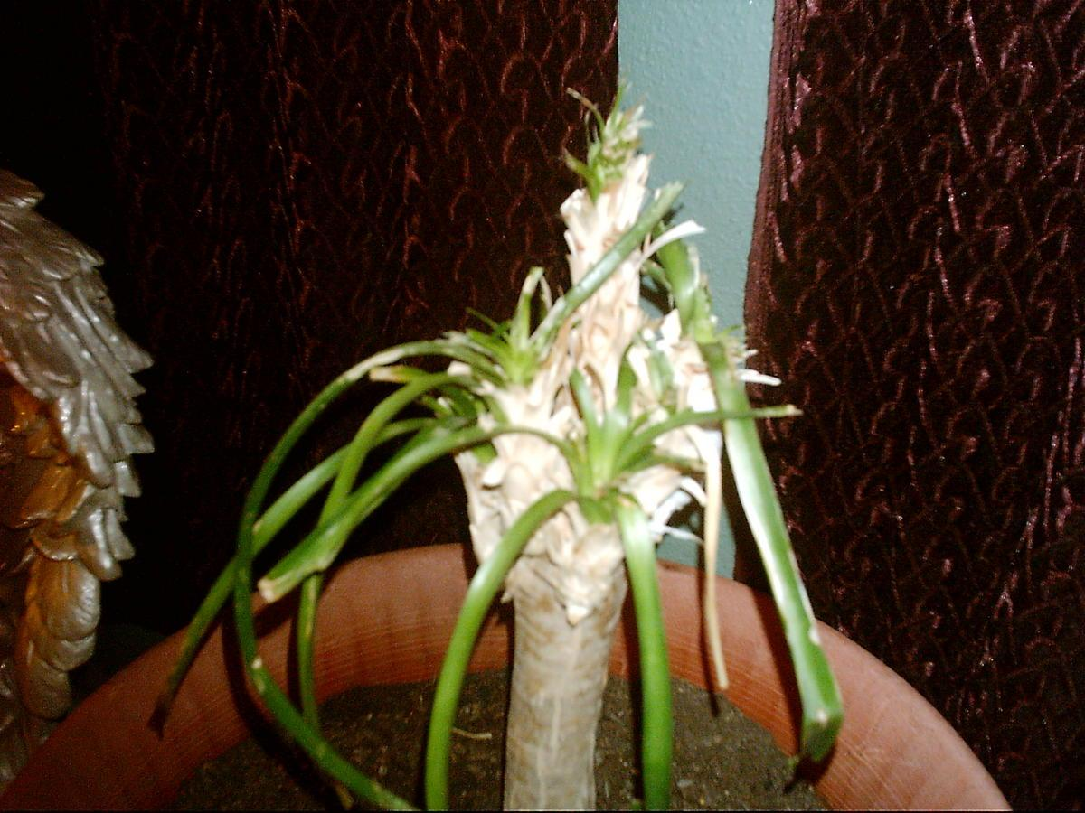 Pruning Ponytail Plants That Are Less Than 6 Inches Tall Will Result In The Plant Producing More Heads It Only Works On Very Young And