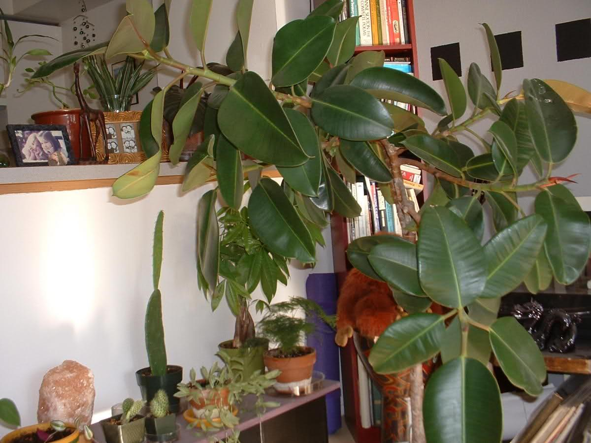 It Can Leave A Plant Owner Wondering Why Do Leaves Drop Off Rubber Plants There Are Many Reasons For Falling Tree