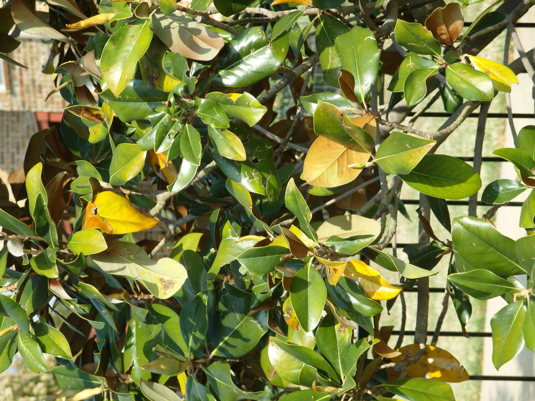 My Southern Magnolia Has Yellow Leaves What S The Cause Dummer Garden Manage Gfinger Es La App De Jardineria Mas Profesional
