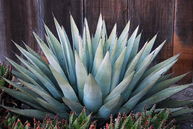 Planting Agave How To Grow Agave Dummer Garden Manage