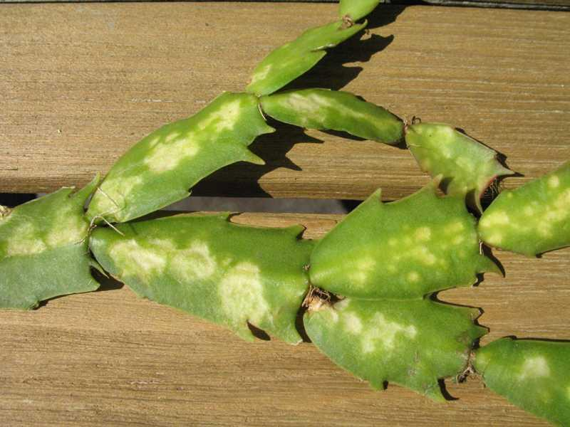 Christmas Cactus Problems.Christmas Cactus Diseases Common Problems Affecting