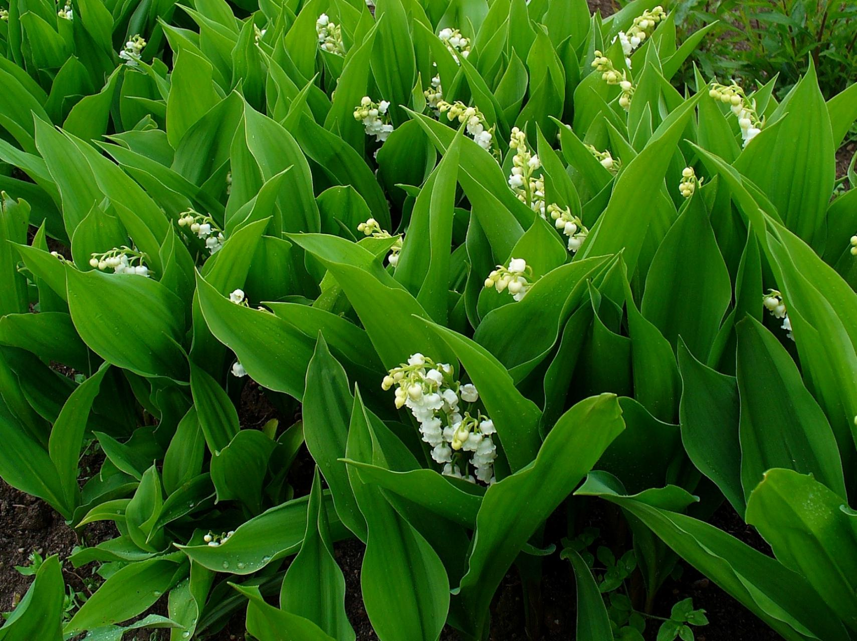Legends and facts about the lily of the valley dummer the lily of the valley is also known as our ladys tears or marys tears from christian legends which came about from marys weeping when jesus was being izmirmasajfo