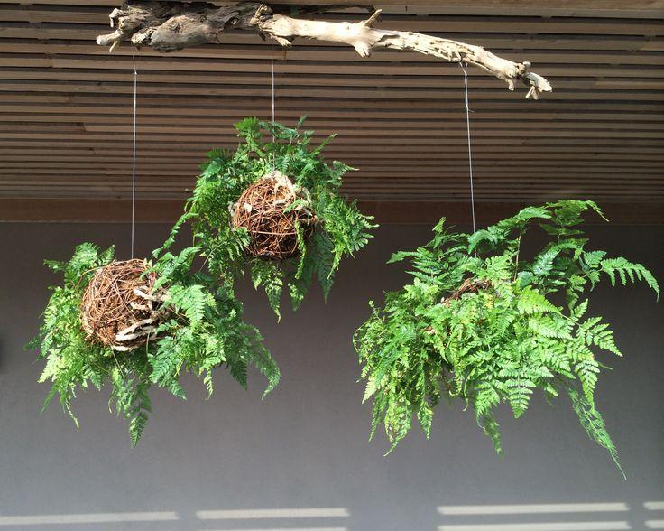 Rabbit's Foot Fern Care: Information On Growing A Rabbit's ... on