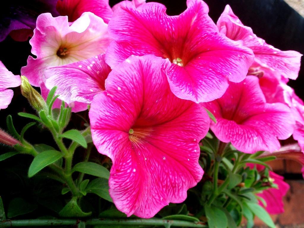 Petunias Dummer Garden Manage Gfinger Is The Best