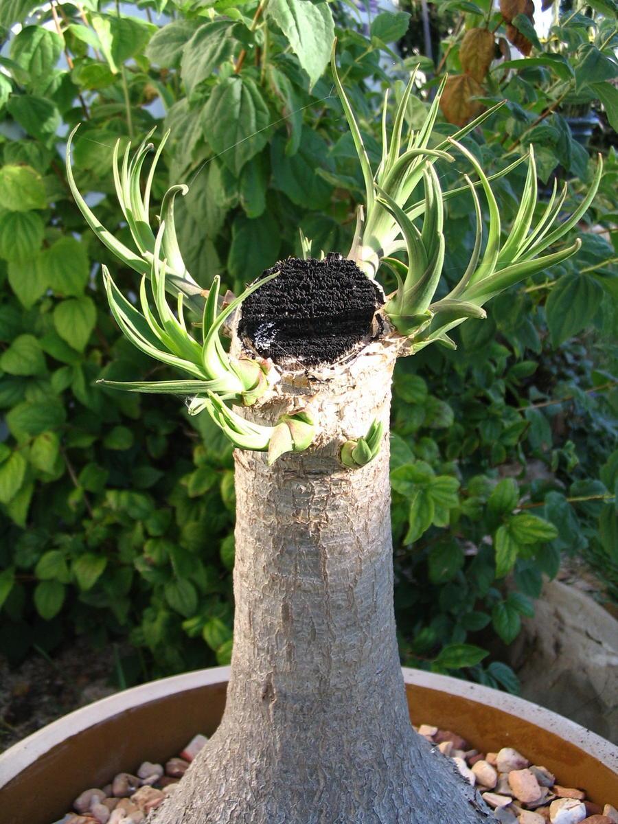 Bonsai Ponytail Palms How To Prune Ponytail Palm Bonsai Dummer Garden Manage Gfinger Es La App De Jardineria Mas Profesional