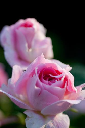 """How To Revive Droopy Headed Roses Miss Chen Garden Manage Gfinger는 Ê°€ìž¥ Ì""""문적인 ̛ì˜ˆ App입니다"""