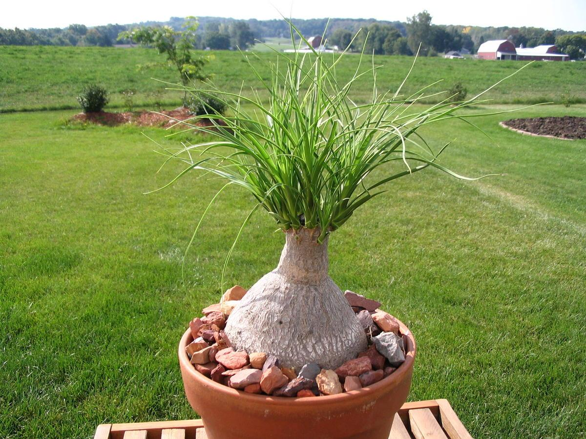 Ponytail Bonsai Plants Are An Interesting Addition To Any Home Décor And Can Be Grown Indoors Or Out During The Warm Season This Lovely Is Native