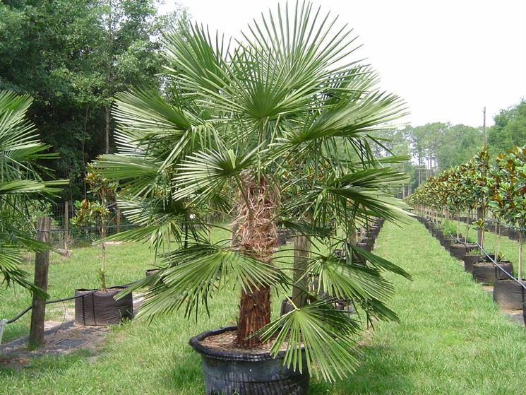 Low Growing Palm Trees: What Are Some Short Height Palm Trees - Dummer. ゛☀  - Garden Manage - GFinger is the best garden manage app