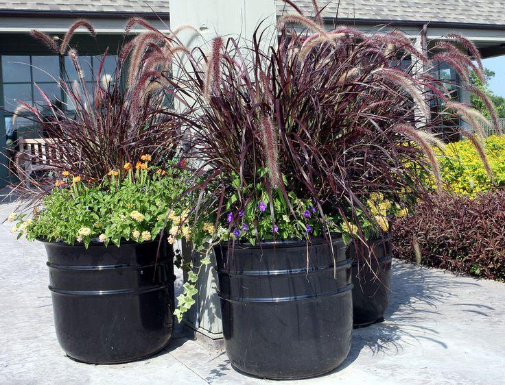 Purple Fountain Grass In Containers Taking Care Of Fountain