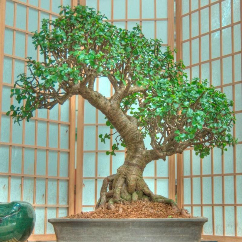 Care Guide For The Jade Bonsai Tree Dummer Garden Manage Gfinger Es La App De Jardineria Mas Profesional