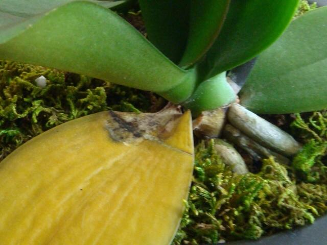 Why Are The Leaves On My Phalaenopsis Turning Yellow Dummer