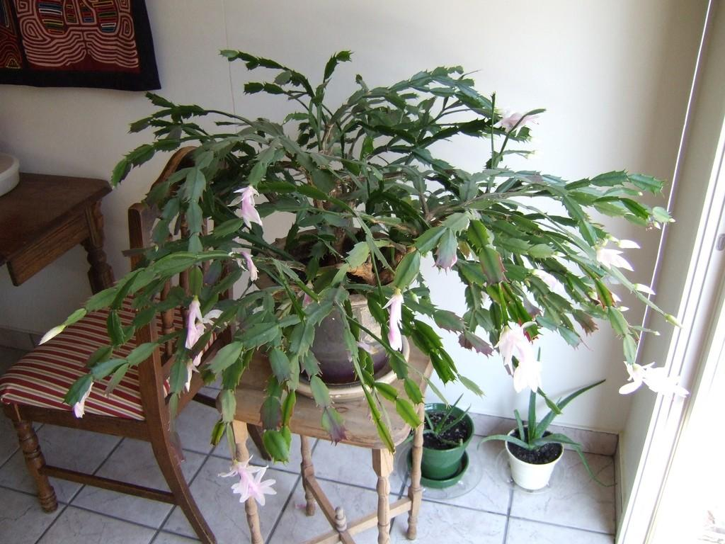 Christmas Cactus Problems.Christmas Cactus Problems Tips For Reviving A Limp