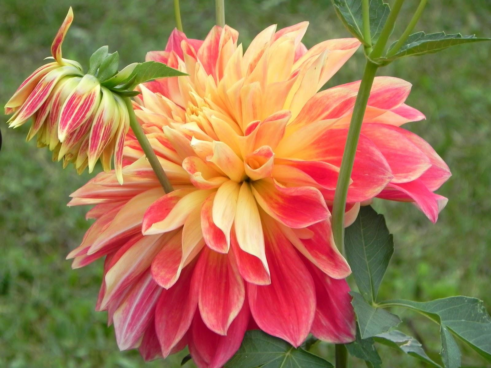 Dahlia the queen of the autumn garden dummer gfinger indigenous to the highlands of mexico and guatemala the dahlia flower first arrived in europe in the 1500s following the defeat of the aztec indians by izmirmasajfo