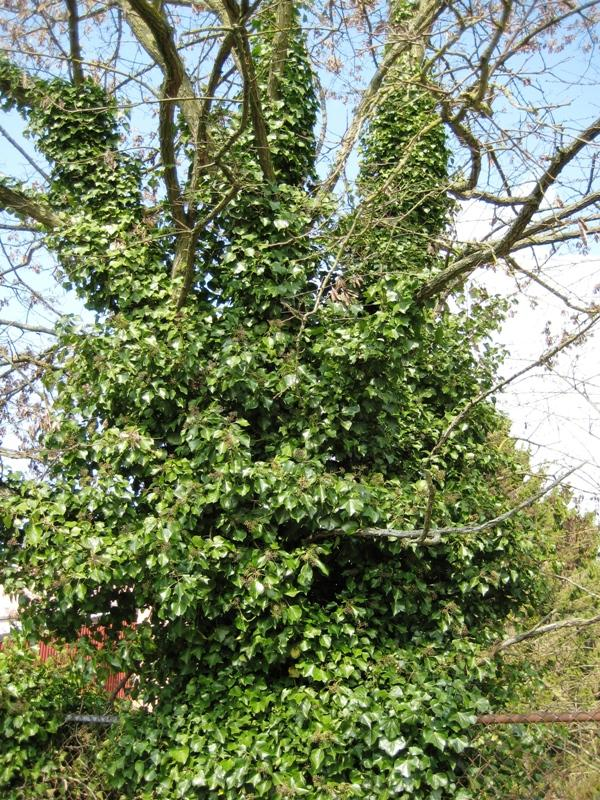 English Ivy Tree Damage Tips On