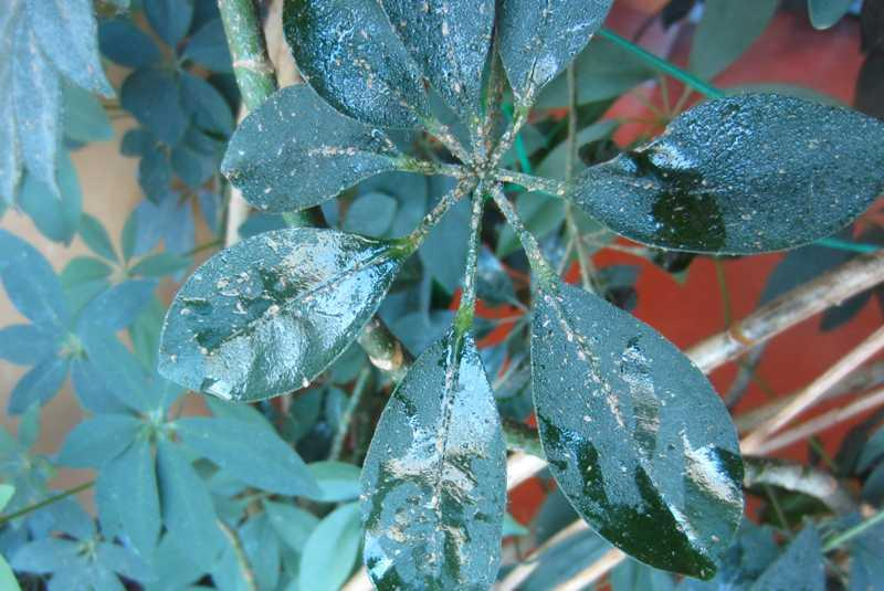 Sticky Schefflera Plant Why Is My Schefflera Sticky