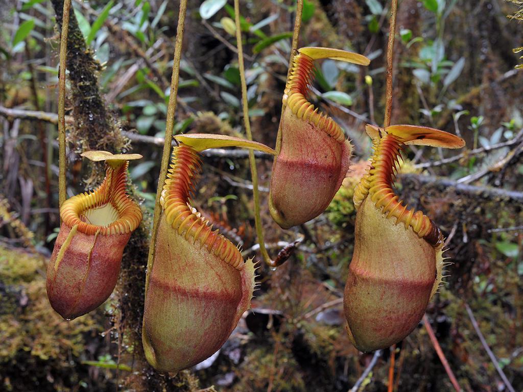 Pitcher Plant Dormancy: Pitcher Plant Care Over Winter - Dummer. ゛ ...
