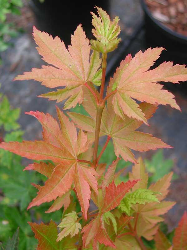 How To Identify Maple Trees Facts About Maple Tree Types Dummer