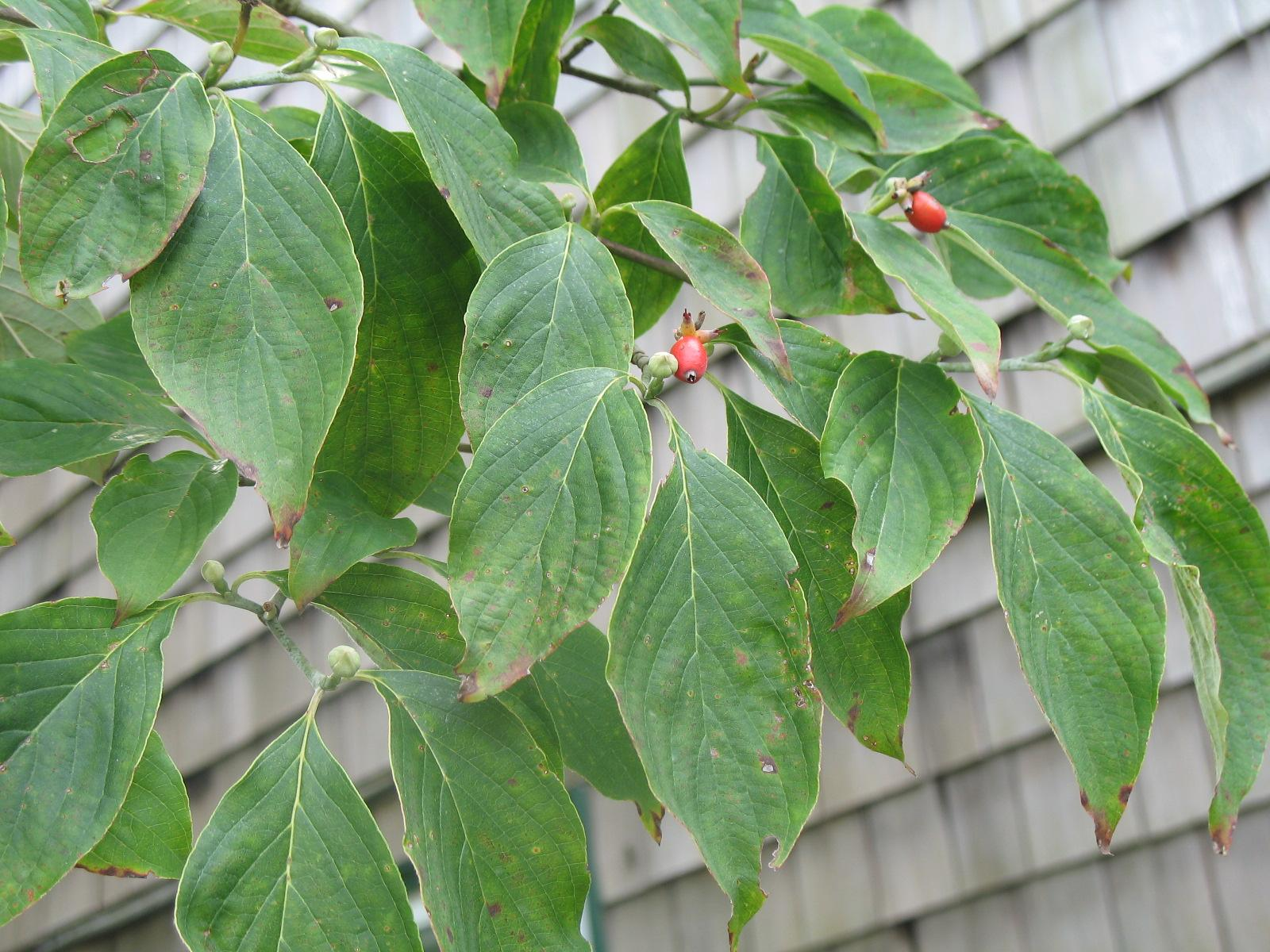 Treating Sick Dogwood Trees Reasons For A Dogwood Tree With Yellow