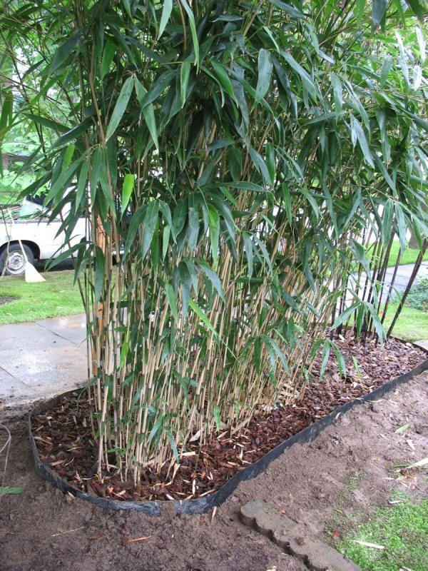 Caring For Bamboo Plants In Your Garden - Dummer  ゛