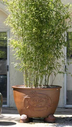 Growing Bamboo In Pots Can Bamboo Be Grown In Containers Dummer