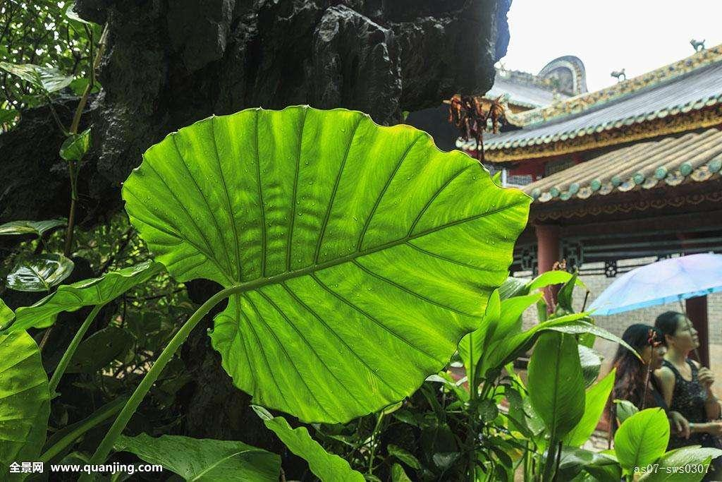 Are Elephant Ear Plants Perennial Miss Chen Garden Manage